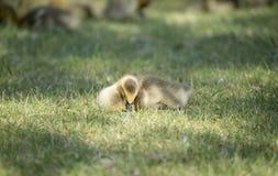Oca Gosling del Canada che dorme alla luce solare (canadensis del Branta) Fotografia Stock