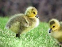Oca Gosling del Canada del bambino Immagine Stock