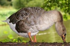 Oca grigia, genere degli uccelli acquatici delle anatidae della famiglia Immagini Stock