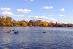 Oca larga nel lago fotografia stock