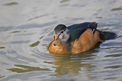 Oca pigmea africana femminile, auritus di Nettapus sull'acqua Fotografie Stock Libere da Diritti