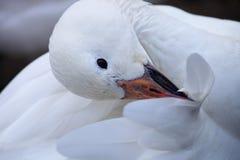 Oca polare Fotografia Stock