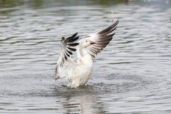 Oca polare bianca Fotografia Stock
