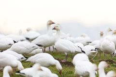 Oca polare di migrazione fotografia stock libera da diritti