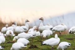 Oca polare di migrazione fotografie stock