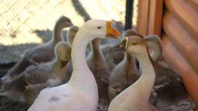 Oca preoccupantesi con le piccole papere del bambino che cammina liberamente sul ranch animale Famiglia di uccello felice del bes stock footage