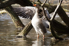 Oca selvatica Fotografie Stock Libere da Diritti