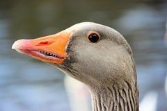 Oca selvatica fotografia stock libera da diritti