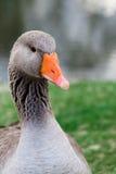 Oca selvatica anche conosciuta di OS del Anser del Anser Fotografia Stock