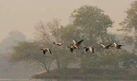 Oca selvatica (Anser del Anser) Fotografie Stock Libere da Diritti