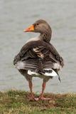 Oca selvatica - anser del Anser Fotografia Stock Libera da Diritti