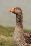 Oca selvatica - anser del Anser Fotografie Stock Libere da Diritti