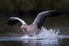 Oca selvatica & x28; Anser& x29 del Anser; fotografie stock