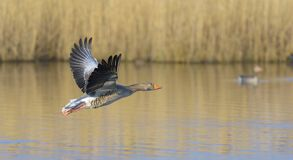 Oca selvatica, anser del Anser, Germania, Europa Fotografia Stock Libera da Diritti