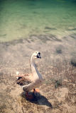 Oca sul lago Immagine Stock