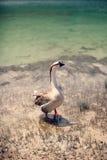 Oca sul lago Fotografia Stock
