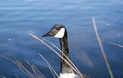 Oca sul lago Immagine Stock Libera da Diritti