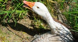 Oca sul nido sul bordo del campo con il becco aperto immagine stock libera da diritti