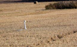 Oca in un campo raccolto Fotografia Stock