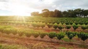 Ocaso en el paisaje de la plantación de café Fotos de archivo libres de regalías