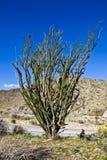 Ocatillo Cactus. Large, lone Ocatillo cactus sprouts skyward in Joshua Tree National Park, in the desert near Palm Springs, California royalty free stock photos