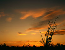 ocatillo słońca Zdjęcia Stock
