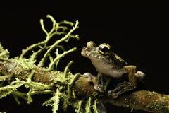 Occhi animali della foresta pluviale della rana di albero grandi esotici   Immagini Stock Libere da Diritti