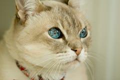 Gatto con gli occhi azzurri immagini stock