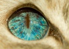 Occhio azzurro del gatto Immagine Stock