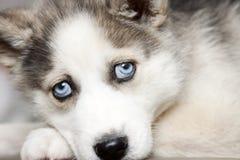 Occhi azzurri del cucciolo sveglio del husky siberiano Fotografia Stock Libera da Diritti