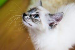 Occhi azzurri del gatto Fotografia Stock