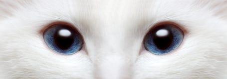 Occhi azzurri del gatto bianco immagini stock