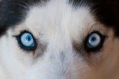 Occhi azzurri del husky fotografia stock libera da diritti