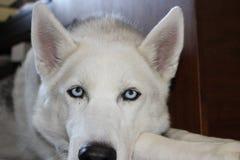 Occhi azzurri della foto del ritratto del husky siberiano fotografia stock