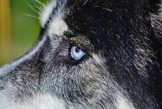 Occhi azzurri di Mickey Immagini Stock