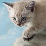 Occhi azzurri luminosi del cielo del gattino Immagini Stock Libere da Diritti