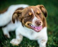Occhi chiusi del cane felice Fotografia Stock
