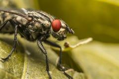 Occhi comuni di colore rosso della mosca Fotografia Stock Libera da Diritti