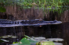 Occhi d'ardore dell'alligatore Immagini Stock