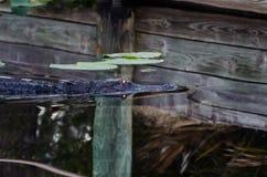 Occhi d'ardore dell'alligatore Fotografia Stock Libera da Diritti