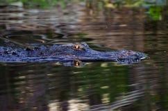Occhi d'ardore dell'alligatore della palude di Okefenokee Fotografia Stock Libera da Diritti