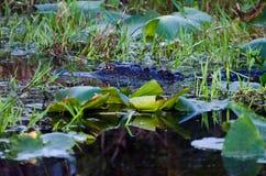Occhi d'ardore di notte dell'alligatore della palude di Okefenokee Immagine Stock Libera da Diritti