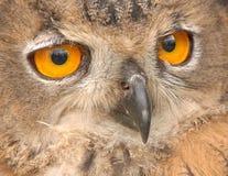 Occhi dei gufi!! Immagine Stock