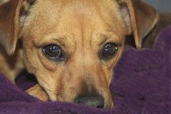 Occhi del cagnolino Immagini Stock Libere da Diritti