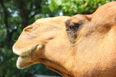 Occhi del cammello Fotografia Stock Libera da Diritti