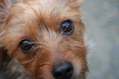 Occhi del cane del cucciolo Immagine Stock