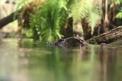 Occhi del coccodrillo Fotografia Stock