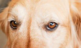 Occhi del cucciolo Immagini Stock