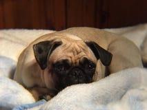 Occhi del cucciolo fotografia stock libera da diritti
