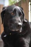 Occhi del cucciolo Immagine Stock